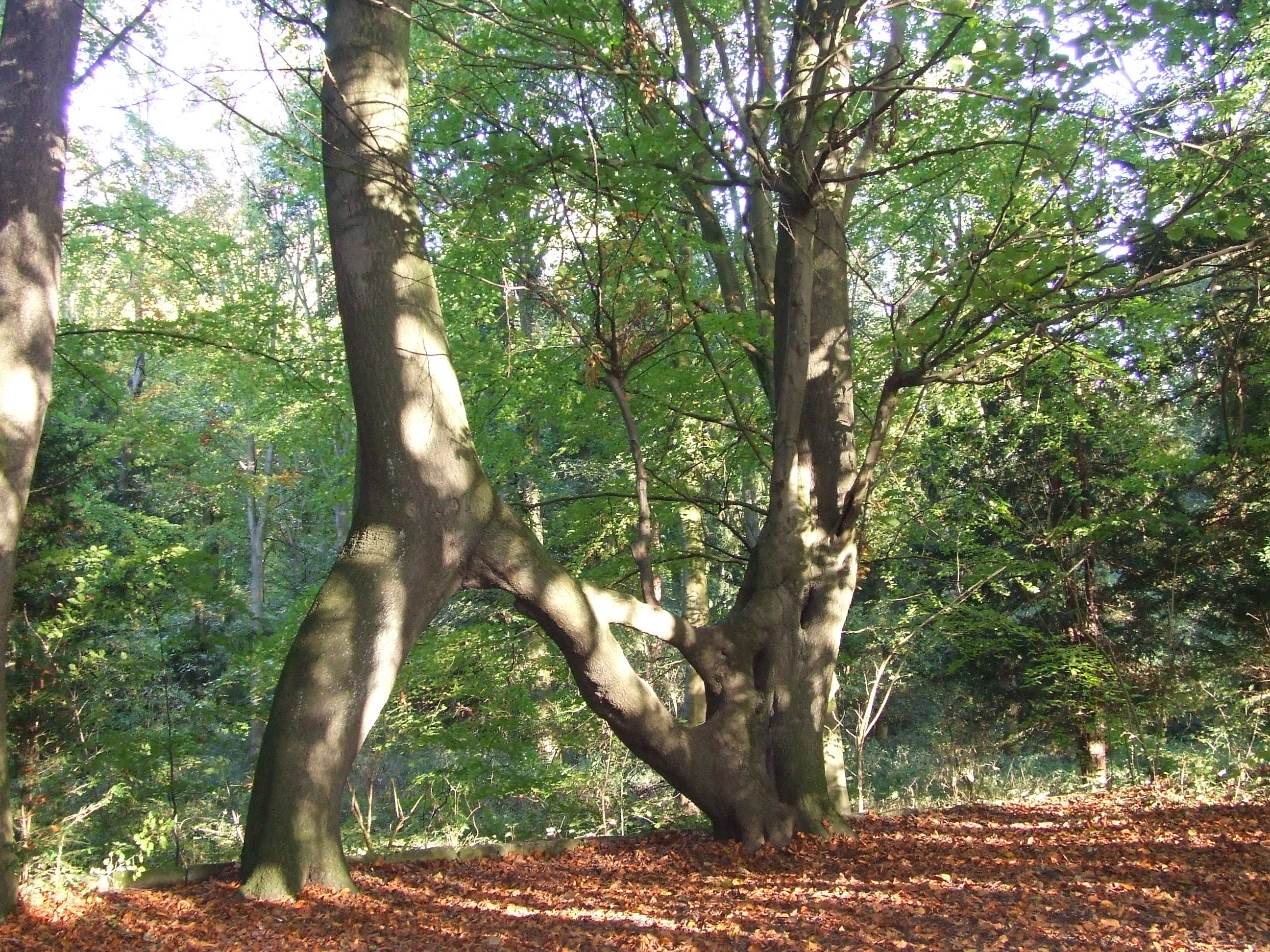 Nellie's tree, the Woodland Trust England's tree of the year 2018